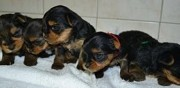 Vends superbes chiots yorkshire terrier pure race nantes