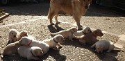Vends chiots golden retriever pure race strasbourg