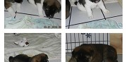 Vends chiots akita americain reims