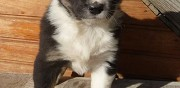 Adorables chiots border collie � vendre thoiry