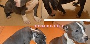 Vends chiots american bully bondy