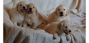 Vends chiots golden retriever disponibles ladern sur lauquet