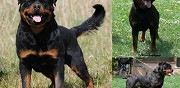 Vends chiots rottweiler lof issus d'�levage pernes les fontaines