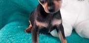 Chiot type pinscher nain crois� chihuahua � vendre drancy