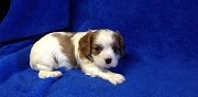 Magnifiques chiots cavalier king charles rumilly