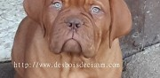 Chiots dogue de bordeaux masque marron la geneytouse