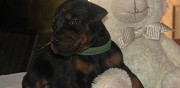 Chiots doberman lof � r�server sin le noble