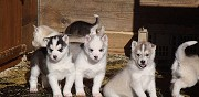 Adorables chiots type husky disponible valmont
