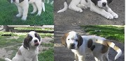 Saint bernard chiots lof disponibles la berthenoux