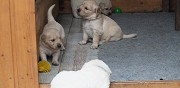 Superbes chiots golden retriever lof biscarrosse