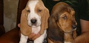 Vends chiots basset hound p�chabou