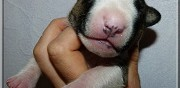 Vends chiots bull terrier miniatures lof montpellier