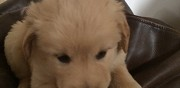 Offre chiots de type golden retriever langoiran