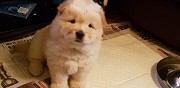 Superbe chiots chow chow lof wasquehal