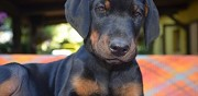 Chiots doberman paris