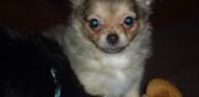 Vends chiots chihuahua poitiers