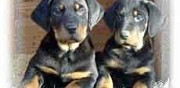Vente chiots type beauceron pure race  barras