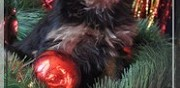 Vends chiots yorkshire terrier lof neuilly en thelle