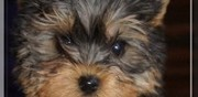 Chiot yorkshire terrier disponible neuilly en thelle