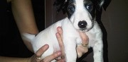Vends chiots jack russell terrier marseille