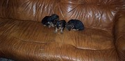 Vends chiots yorkshire terrier woippy