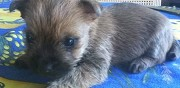 Vends 5 chiots cairn terrier saint mard