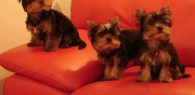 Vends chiots yorkshire lof toulouse