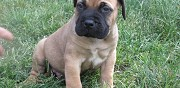 Vends chiots bullmastiff montlu�on