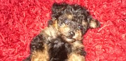 Vends chiots yorkshire terrier lasbordes