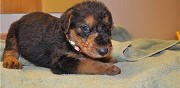 Chiots type airedale terrier disponibles limoge