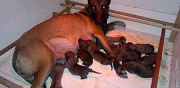Vends chiots malinois pure race cadalen