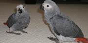 Adorable couple de perroquets gris du gabon pour adoption royan