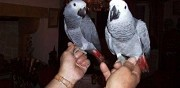 Vends 2 perroquets gris du gabon disponible paris
