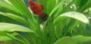 Poissons platy et n�ons � donner lille
