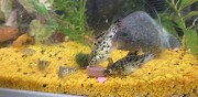 Vends marble molly tropical poisson andelu