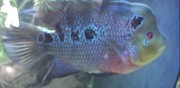 Vends flowerhorn essey l�s nancy
