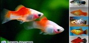 Guppy, platty, molly, xipho et ancistrus al�s