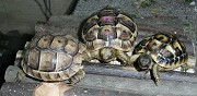 Vends tortues terrestre annezay