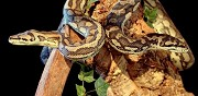 Vends pythons mor�lia saint dizier