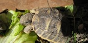 Tortues hermann de pure race à vendre anduze