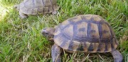 Vends couple de tortues de terre chantepie