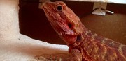 Vends pogona red clermont ferrand