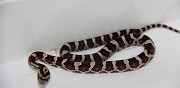 Vends pantherophis guttatus crimson vaugrigneuse