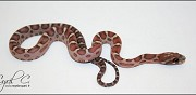 Vends panth�rophis guttatus scaleless etrepagny