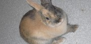 Donne lapin nain femelle 6 mois bourges