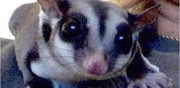 Vends 2 m�les sugar glider nancy