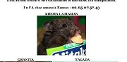 Hamsters de syrie � adopter rennes