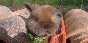 Lapin b�lier � l'adoption saint agnant