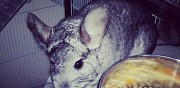 Donne chinchilla m�le de 4 ans viry chatillon