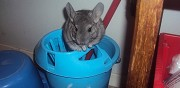 Vends b�b�s chinchilla tours